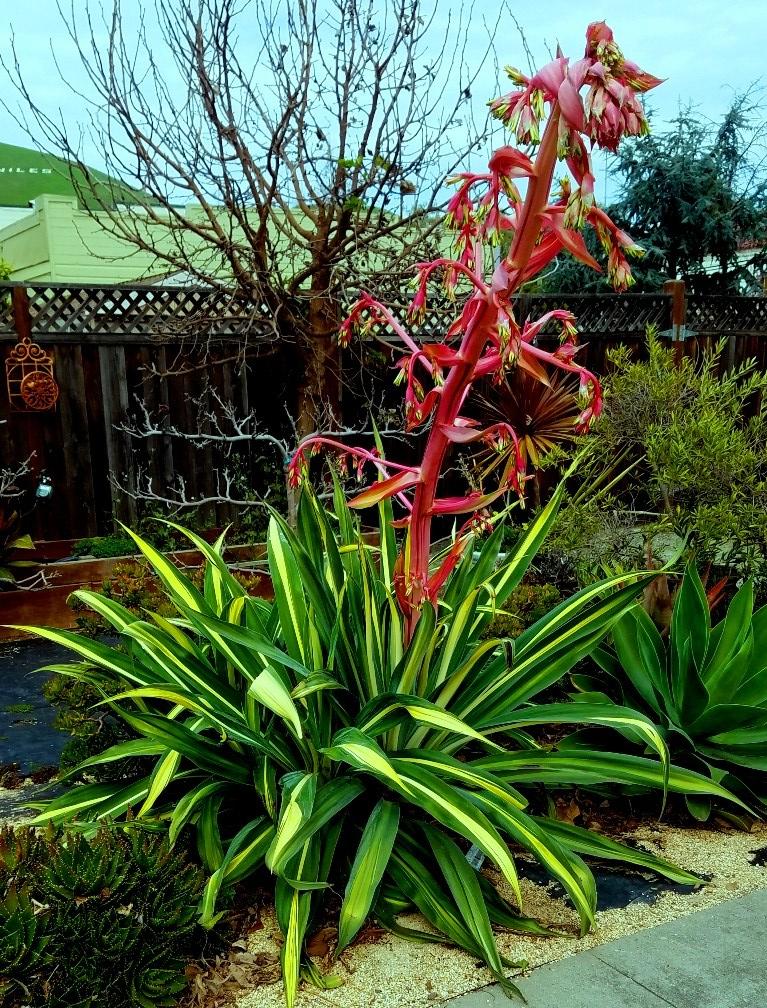 succulent grandie